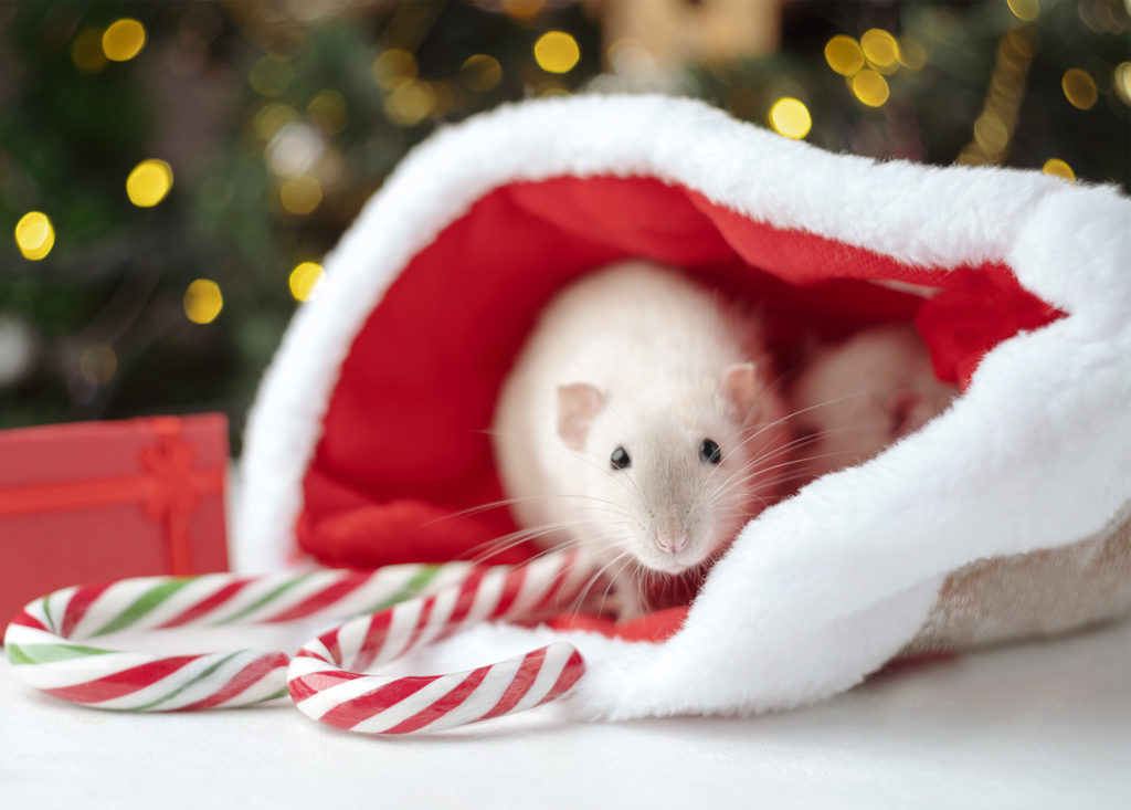 2 white rats peeping out of Santa har lying on the table, with candy canes