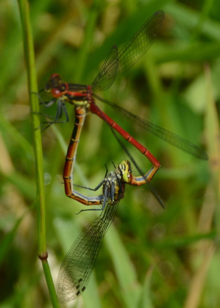 Mating dragonflies.