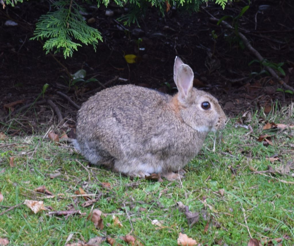 This rabbit has emerged from his burrow to enjoy the spring weather.