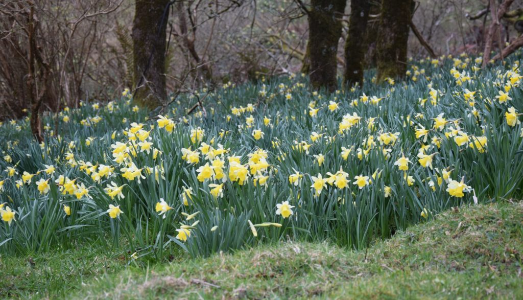 A carpet of daffodils blankets the ground in yellow.