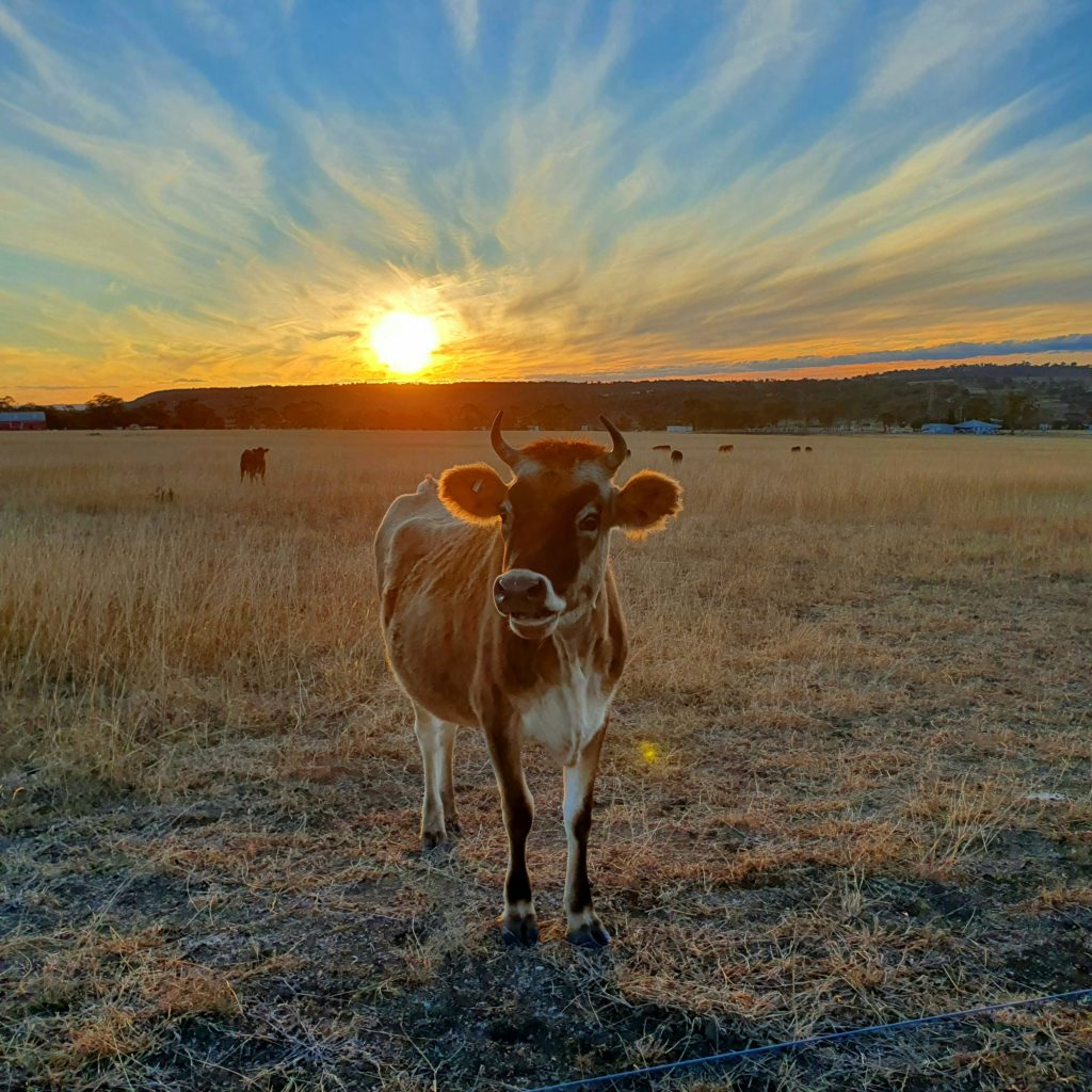 Belinda Kruck from Warwick, Queensland, Australia, took this shot on an afternoon walk. She said: 'I was hoping to capture an image of the sunset colours against the foreground of our dry country. The cow was a bonus!'