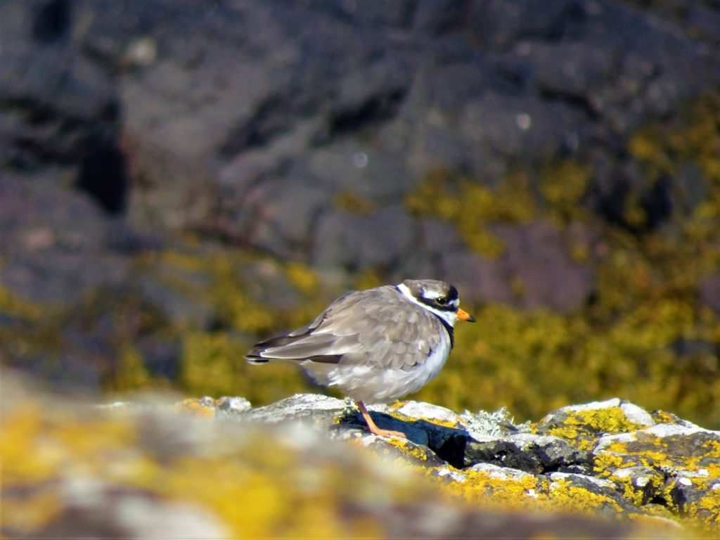 Intermediate section winner Josh Owens's ringed plover has gone to the national final.