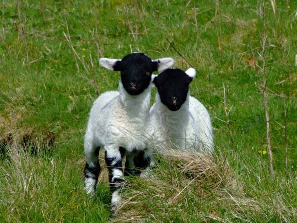 Lambs sharper on the week at Stirling