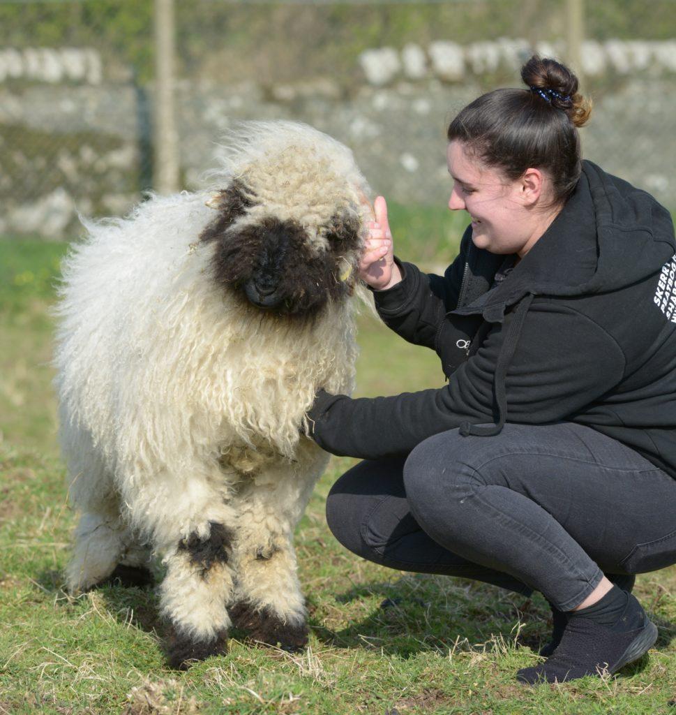 Kintyre's first Valais Blacknose sheep?