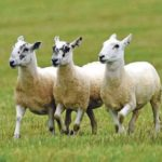 Stock photograph: The dogs chased sheep in a field near Tayinloan.