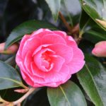 New buds appear beside a flowering head on this Camellia bush.