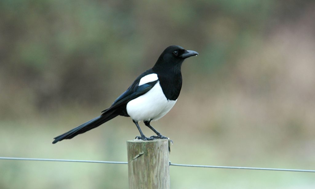 Have you spotted a magpie?