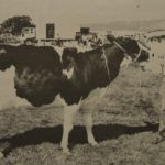 Seventy years ago: The 1970 Kintyre Show Supreme Dairy Champion, High Knockrioch Lucy, with Donald Armour.