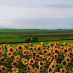 The eye-catching flowers at Glencraigs Farm are not only adding a welcome splash of colour to the countryside but they are also raising money for a Kintyre charity. Photograph: Aileen Gillies.