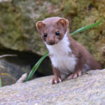 Eddie Maguire submitted this photo of a weasel which has taken up residence at the Machrihanish Seabird Observatory.