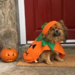 Cosmo the Pomeranian pumpkin is trying his best to look fierce but he is nothing but adorable!