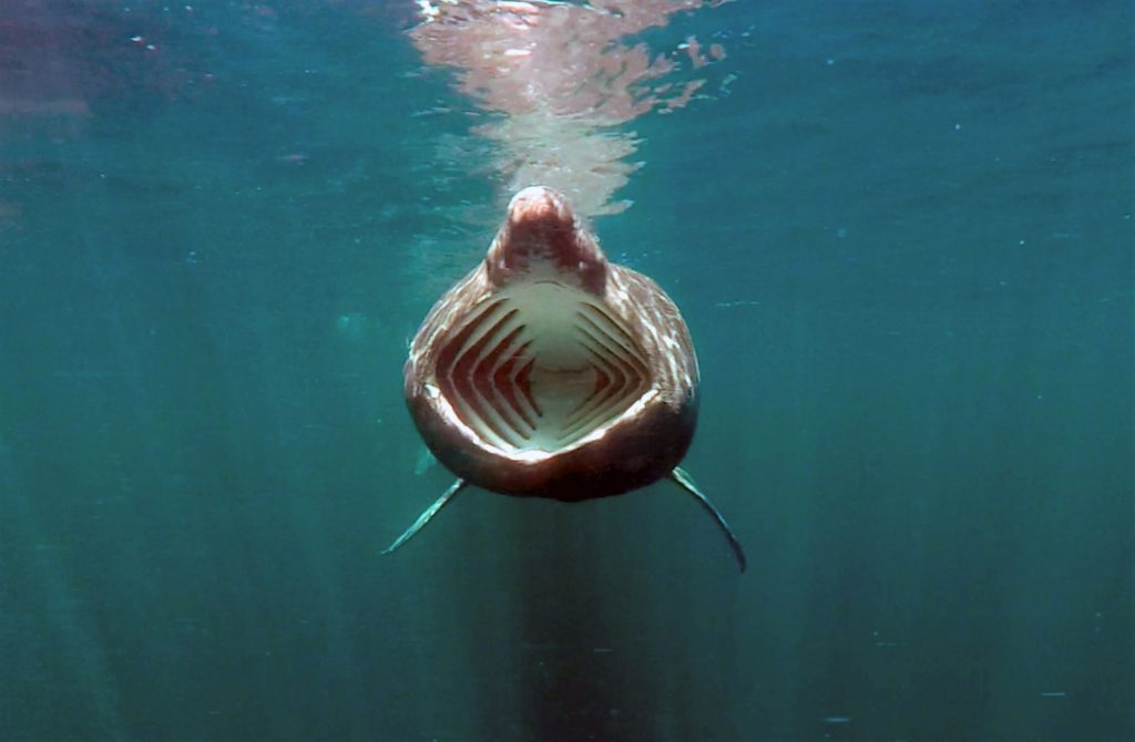 Scotland has several hotspots for basking shark sightings. Photograph: Oceanographic Systems Lab, WHOI.