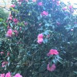 This week's photograph of colourful camellias was sent in by Nancy Morgans, who was inspired by David O McEwan's recent Thought for the Week column.