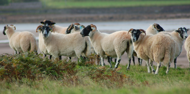 There have been at least six incidents involving dogs chasing livestock on Davaar Island in the last 12 months.