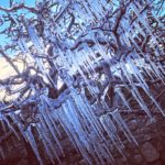 Sarah McFadzean from Campbeltown sent in the photo which shows icicles hanging from a tree in her garden.