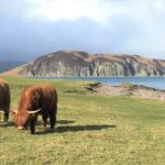 Lizzie Jasper captured this photograph of Highland cows grazing in the sunshine with Davaar in the background during a recent expedition with her family in search of pirate caves round the Learside.
