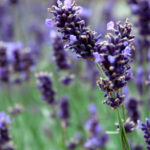 April is the perfect time to plant lavender.