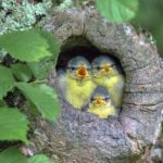 This photograph of three young blue tits peeping out their nest was taken in a wood near Southend by amateur photographer Bob Goodman.