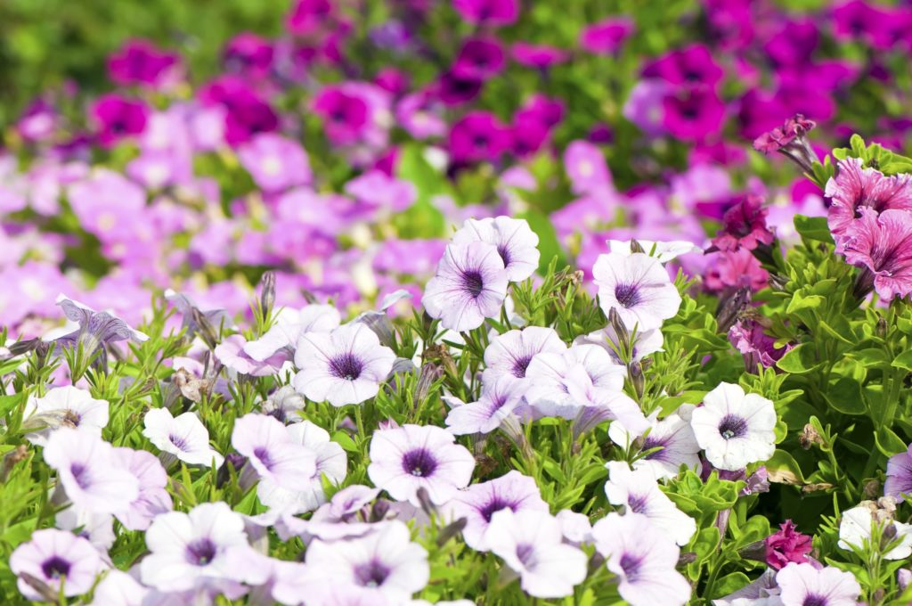 Petunias are perfect for containers and hanging baskets and a great choice for instant colour.