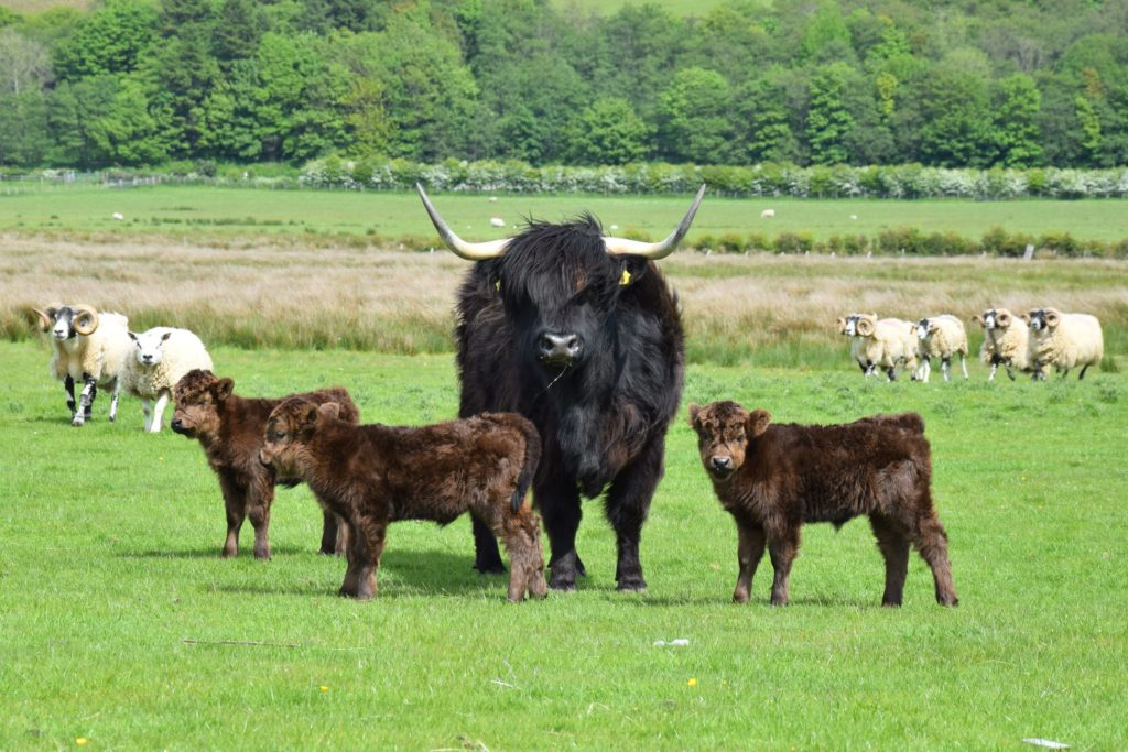 Kintyre farmer David Laing got a huge surprise when one of his Highland cows gave birth to triplets, not only because it is so rare but because he had been told she was carrying twins.