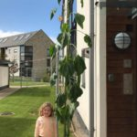 Rosie Hill from Campbeltown Nursery Centre grew the tallest sunflower in 2018.