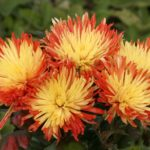 Asters, a fantastic late-flowering choice, come in blue, purple, red, pink and white varieties, each with a yellow centre.