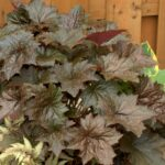 One of the most exciting group of plants to brighten up any part of the garden is heuchera.