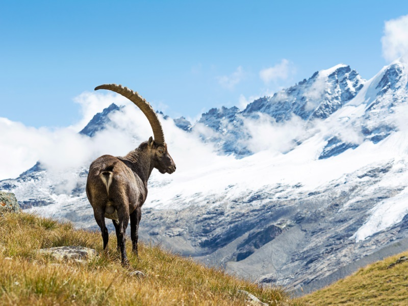 National Parks in Europe - Goat