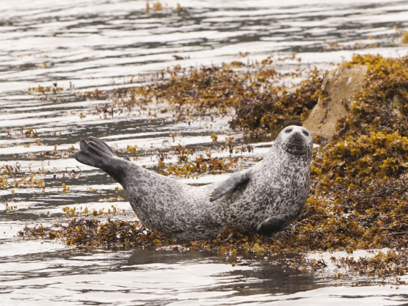 Otter - Mull Wildlife Tours
