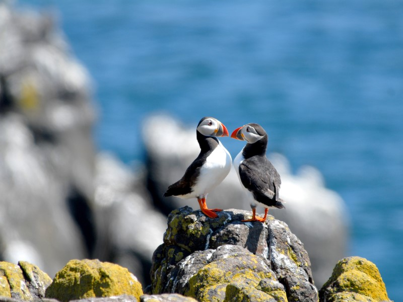 Atlantic Puffins Mull Wildlife Tours