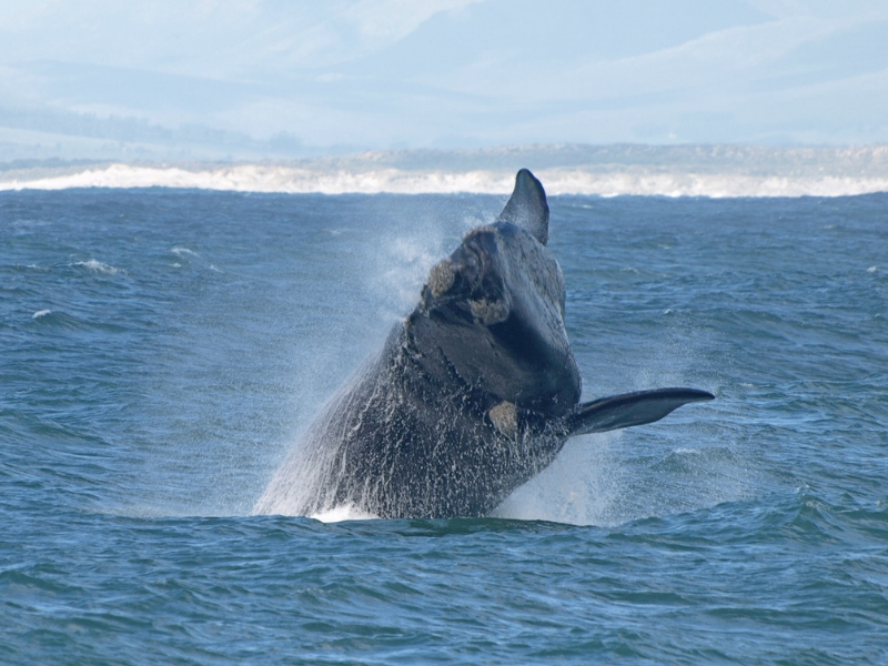 South Africa Wildlife - Southern Right Whale