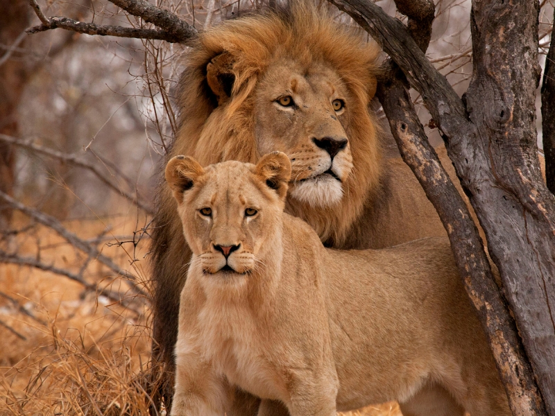 South Africa Wildlife - Lions