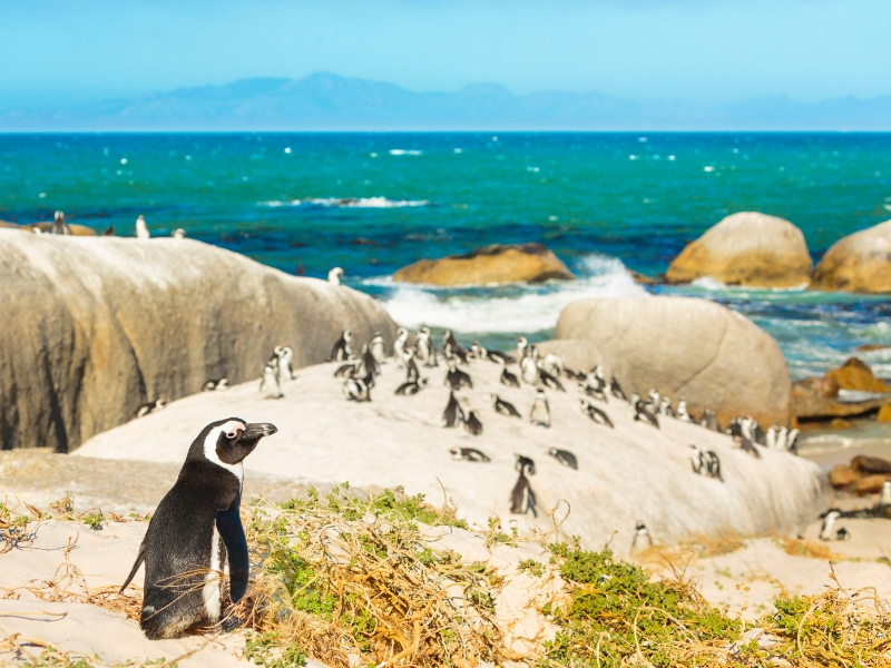 South Africa Wildlife - African Penguins