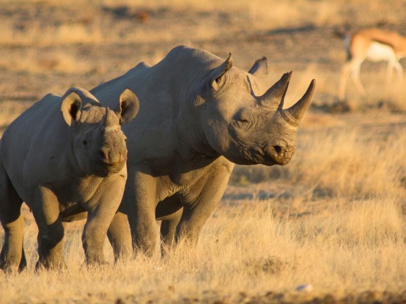 South Africa Wildlife - Black Rhinos