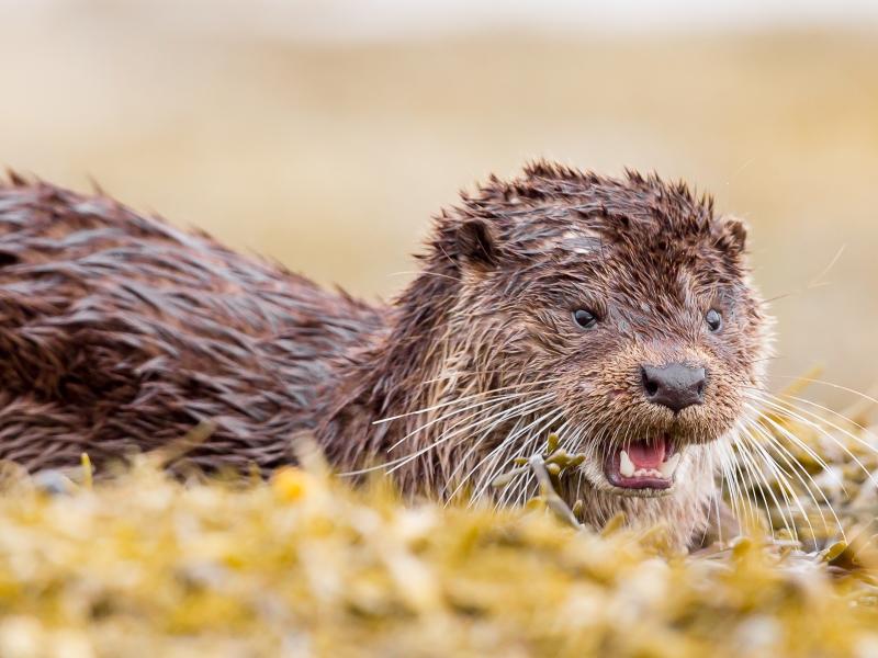 Otters Mull
