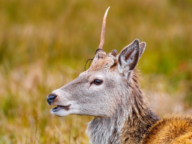 Red Deer Jura