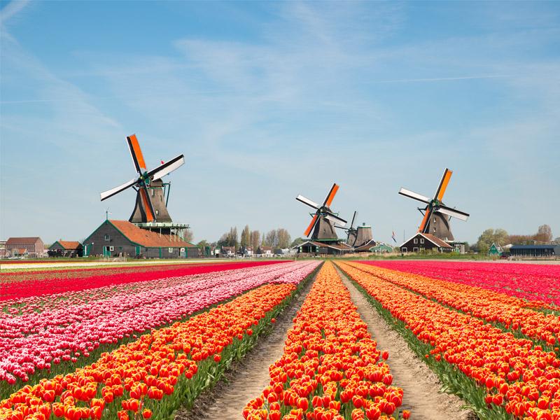 Dutch Bulbfields