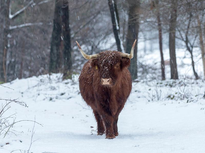 Festive Breaks - Highland Cow in Winter