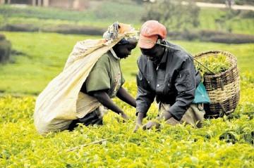 Tea making in Tanzania