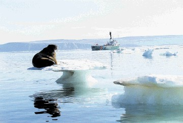 A Walrus sitting on melting ice basks in the sun as the Greenpeace ship MV Artic Sunrise sails by on the Chukchi Sea in the Artic Ocean
