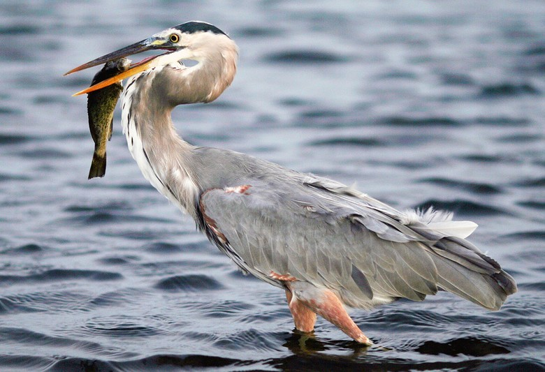 A great blue heron. Picture by Terry Foote (Wiki commons)