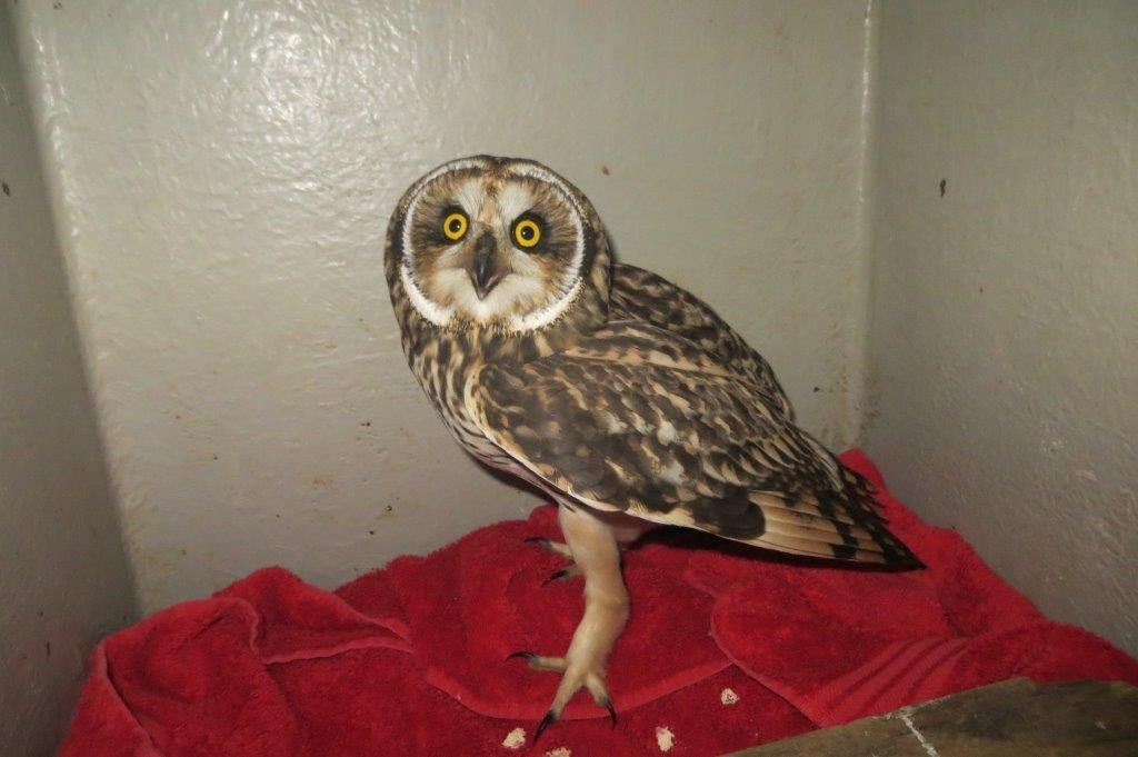 Rescued oil rig owl. SSPCA