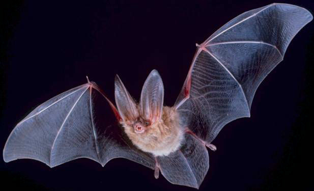 Bats and onshore wind turbines