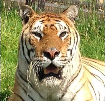 Tango the tiger. Pic: Woodside Wildlife Park