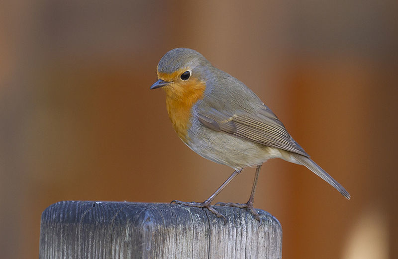 A robin. Picture from  PierreSelim, wikicommons