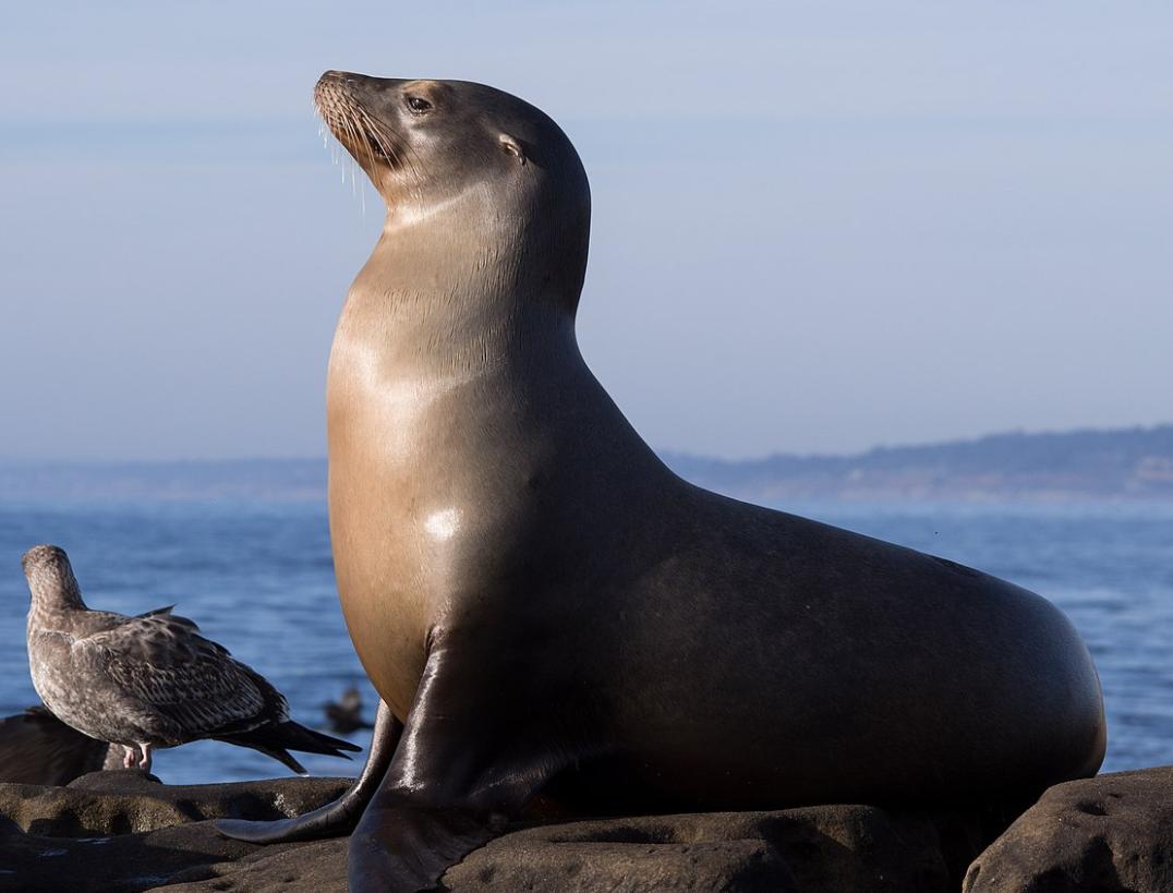 Sea Lion chrysaor premier