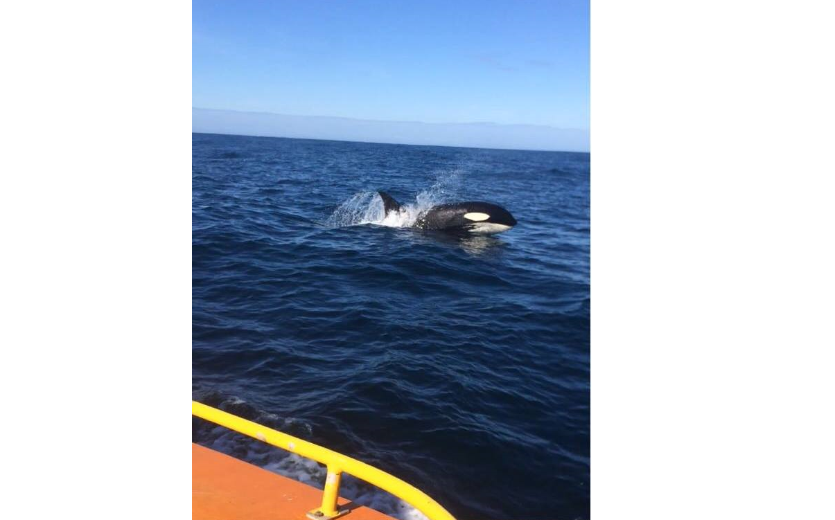 A photo of a killer whale published on the Life at Sea on an ERRV Facebook page.