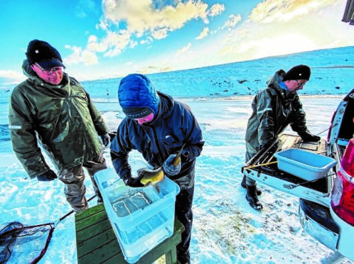 The largest ever North Atlantic egg-planting scheme is taking place in north-east Iceland.