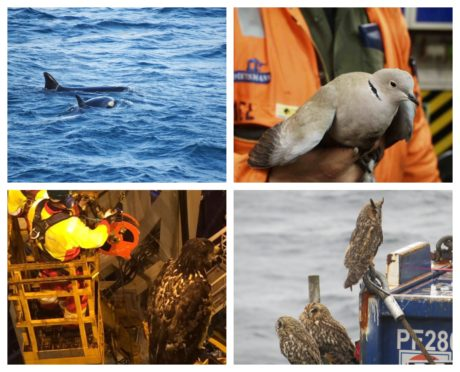 The North Sea Bird Club is being wound down after more than 40 years. More than 150,000 sightings have been recorded of birds, bats, insects and marine mammal on North Sea platforms.