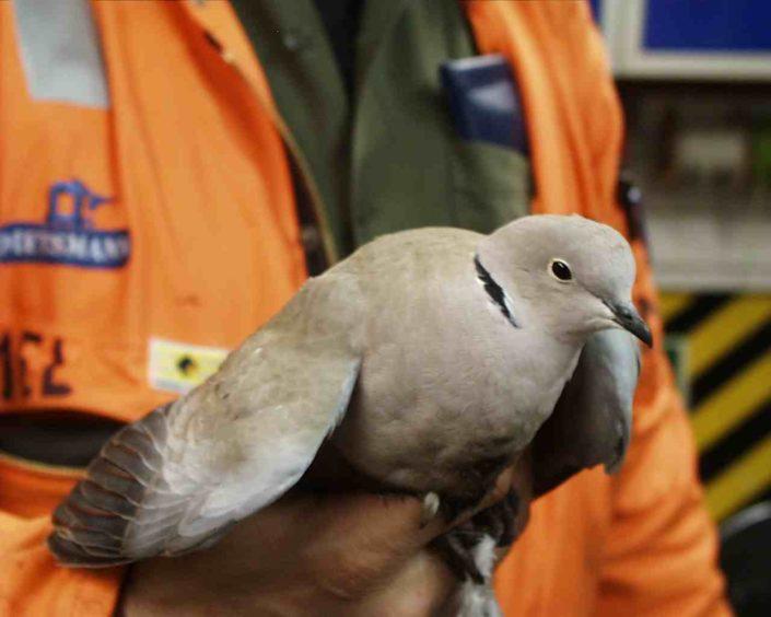 A Collared Dove at Buchan Alpha